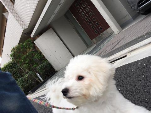 ビションフリーゼ子犬フントヒュッテこいぬ家族募集里親関東_2112.jpg