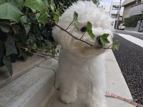 ビションフリーゼ子犬フントヒュッテこいぬ家族募集里親関東_2113.jpg