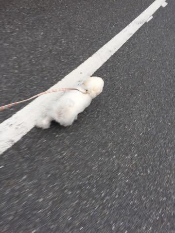 ビションフリーゼ子犬フントヒュッテこいぬ家族募集里親関東_2116.jpg