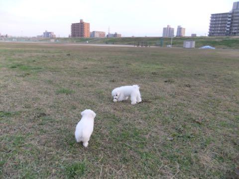 ビションフリーゼ子犬フントヒュッテこいぬ家族募集里親関東_2124.jpg