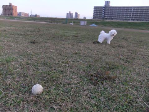 ビションフリーゼ子犬フントヒュッテこいぬ家族募集里親関東_2126.jpg