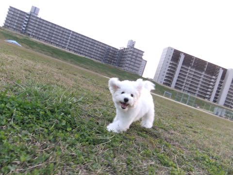 ビションフリーゼ子犬フントヒュッテこいぬ家族募集里親関東_2127.jpg