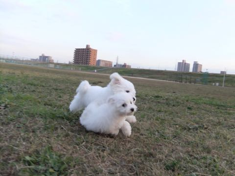 ビションフリーゼ子犬フントヒュッテこいぬ家族募集里親関東_2131.jpg