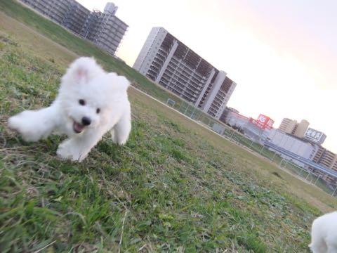 ビションフリーゼ子犬フントヒュッテこいぬ家族募集里親関東_2132.jpg