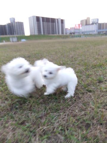ビションフリーゼ子犬フントヒュッテこいぬ家族募集里親関東_2143.jpg