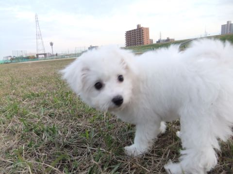 ビションフリーゼ子犬フントヒュッテこいぬ家族募集里親関東_2147.jpg