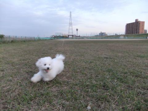 ビションフリーゼ子犬フントヒュッテこいぬ家族募集里親関東_2150.jpg