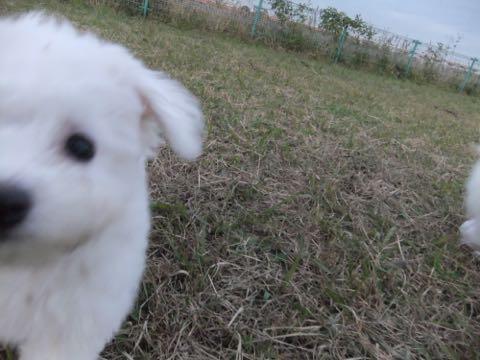 ビションフリーゼ子犬フントヒュッテこいぬ家族募集里親関東_2155.jpg