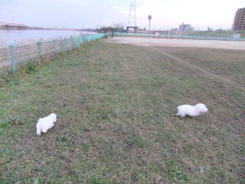 ビションフリーゼ子犬フントヒュッテこいぬ家族募集里親関東_2160.jpg