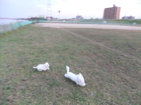 ビションフリーゼ子犬フントヒュッテこいぬ家族募集里親関東_2161.jpg