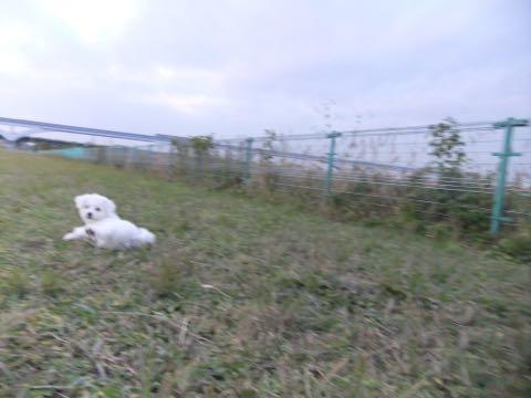 ビションフリーゼ子犬フントヒュッテこいぬ家族募集里親関東_2164.jpg