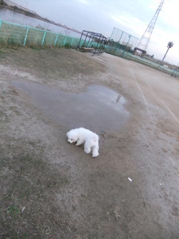 ビションフリーゼ子犬フントヒュッテこいぬ家族募集里親関東_2166.jpg