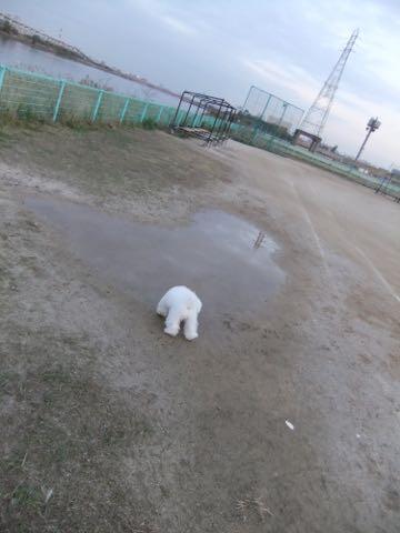 ビションフリーゼ子犬フントヒュッテこいぬ家族募集里親関東_2167.jpg