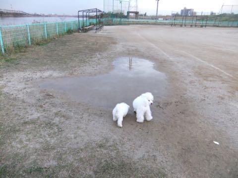 ビションフリーゼ子犬フントヒュッテこいぬ家族募集里親関東_2168.jpg