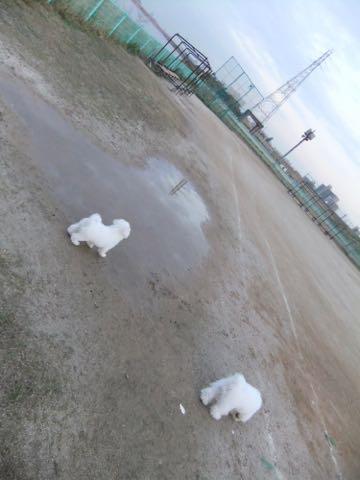 ビションフリーゼ子犬フントヒュッテこいぬ家族募集里親関東_2169.jpg