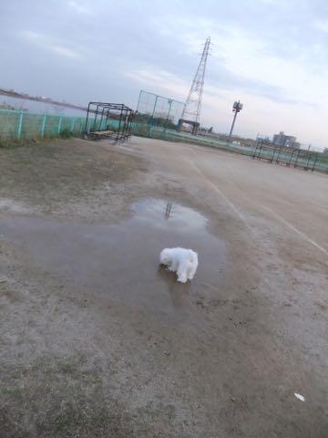 ビションフリーゼ子犬フントヒュッテこいぬ家族募集里親関東_2170.jpg