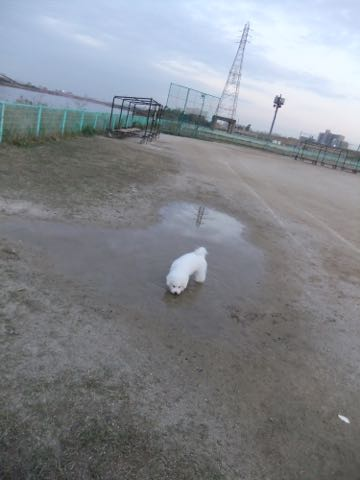 ビションフリーゼ子犬フントヒュッテこいぬ家族募集里親関東_2171.jpg