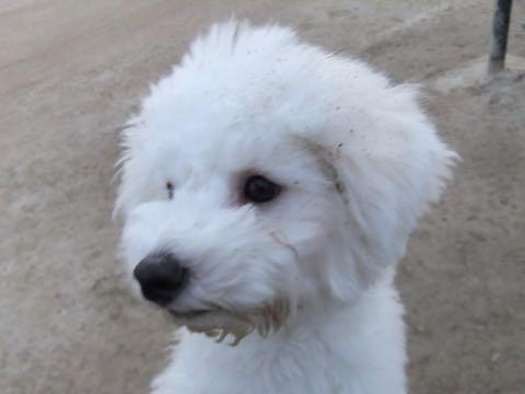ビションフリーゼ子犬フントヒュッテこいぬ家族募集里親関東_2176.jpg