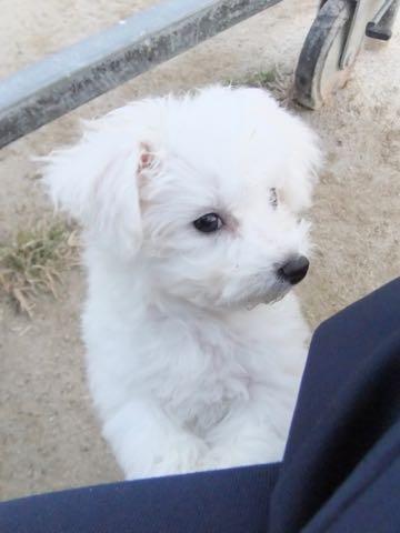 ビションフリーゼ子犬フントヒュッテこいぬ家族募集里親関東_2177.jpg