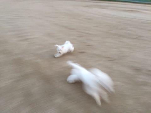 ビションフリーゼ子犬フントヒュッテこいぬ家族募集里親関東_2193.jpg