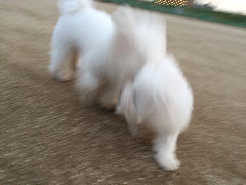 ビションフリーゼ子犬フントヒュッテこいぬ家族募集里親関東_2194.jpg