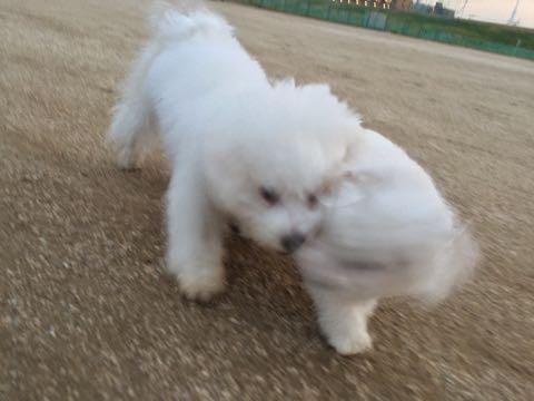 ビションフリーゼ子犬フントヒュッテこいぬ家族募集里親関東_2195.jpg