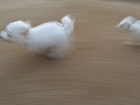 ビションフリーゼ子犬フントヒュッテこいぬ家族募集里親関東_2199.jpg
