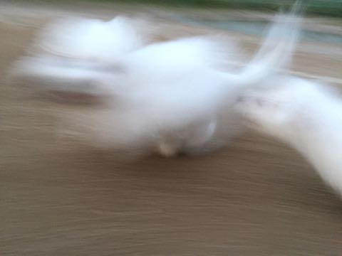 ビションフリーゼ子犬フントヒュッテこいぬ家族募集里親関東_2200.jpg