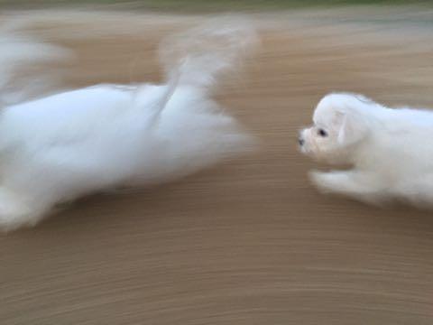 ビションフリーゼ子犬フントヒュッテこいぬ家族募集里親関東_2201.jpg