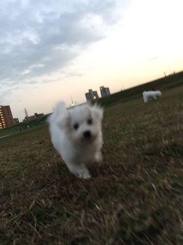 ビションフリーゼ子犬フントヒュッテこいぬ家族募集里親関東_2202.jpg
