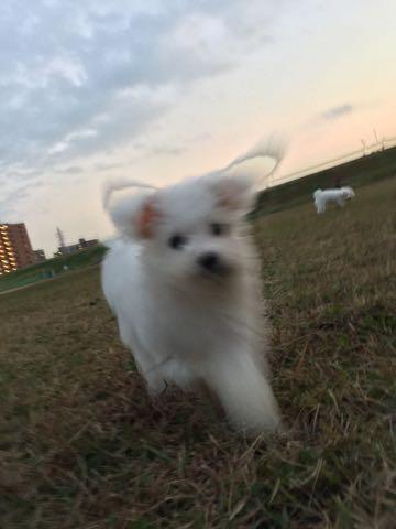 ビションフリーゼ子犬フントヒュッテこいぬ家族募集里親関東_2203.jpg