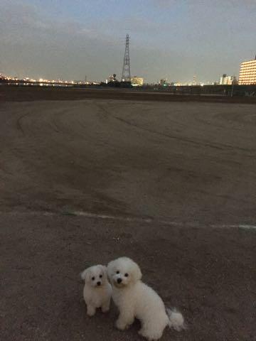 ビションフリーゼ子犬フントヒュッテこいぬ家族募集里親関東_2211.jpg