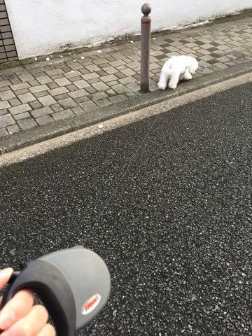 ビションフリーゼ子犬フントヒュッテこいぬ家族募集里親関東_2221.jpg