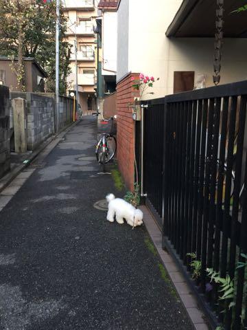 ビションフリーゼ子犬フントヒュッテこいぬ家族募集里親関東_2224.jpg