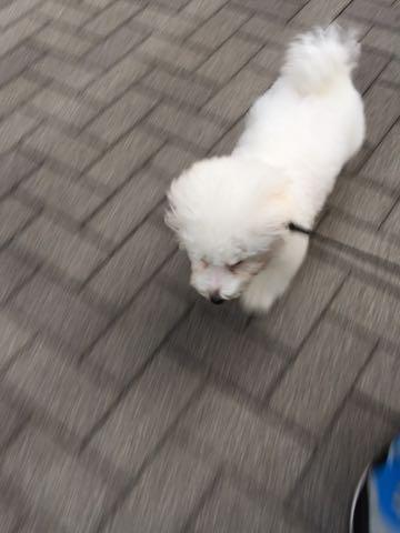 ビションフリーゼ子犬フントヒュッテこいぬ家族募集里親関東_2226.jpg