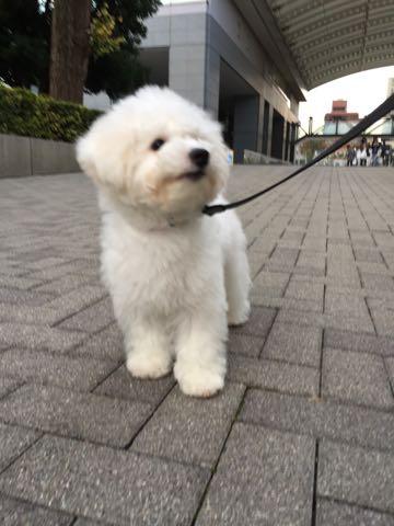 ビションフリーゼ子犬フントヒュッテこいぬ家族募集里親関東_2227.jpg