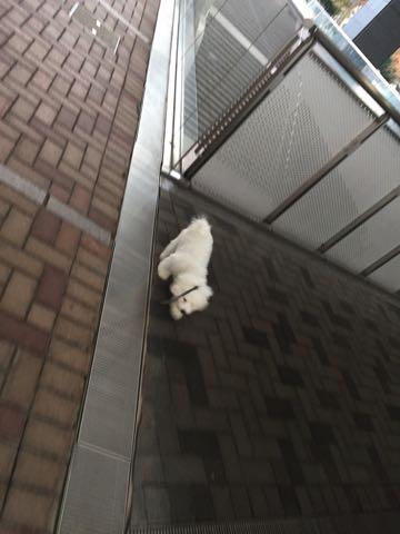 ビションフリーゼ子犬フントヒュッテこいぬ家族募集里親関東_2228.jpg