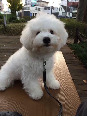 ビションフリーゼ子犬フントヒュッテこいぬ家族募集里親関東_2231.jpg