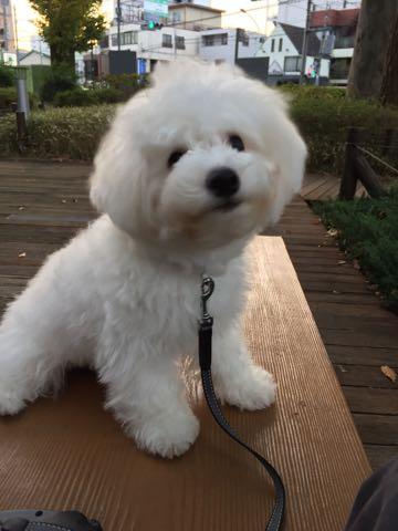 ビションフリーゼ子犬フントヒュッテこいぬ家族募集里親関東_2232.jpg