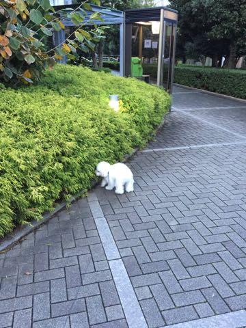ビションフリーゼ子犬フントヒュッテこいぬ家族募集里親関東_2233.jpg