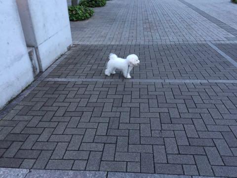 ビションフリーゼ子犬フントヒュッテこいぬ家族募集里親関東_2234.jpg
