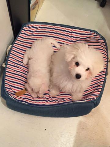 ビションフリーゼ子犬フントヒュッテこいぬ家族募集里親関東_1569.jpg