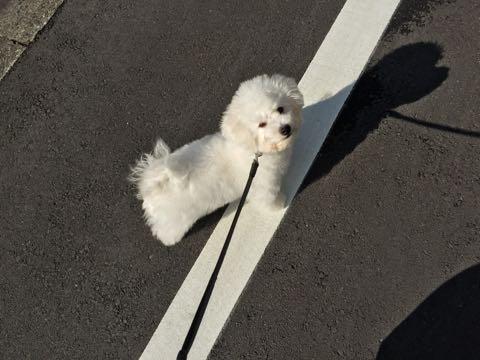 ビションフリーゼ子犬フントヒュッテこいぬ家族募集里親関東_2235.jpg