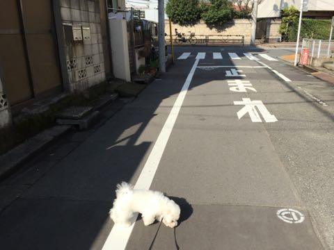 ビションフリーゼ子犬フントヒュッテこいぬ家族募集里親関東_2236.jpg