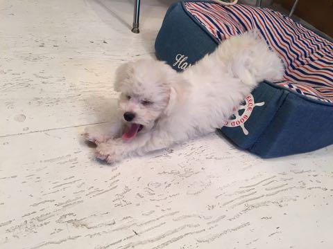 ビションフリーゼ子犬フントヒュッテこいぬ家族募集里親関東_2239.jpg