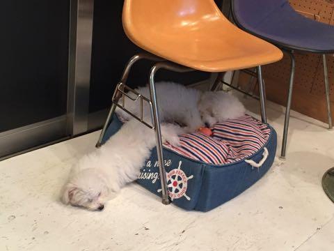 ビションフリーゼ子犬フントヒュッテこいぬ家族募集里親関東_2242.jpg