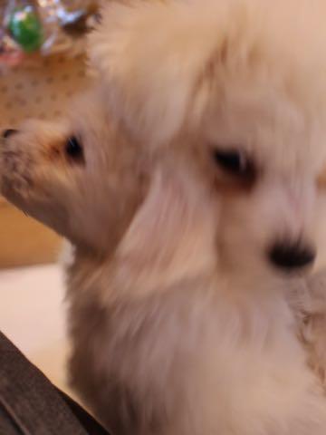 ビションフリーゼ子犬フントヒュッテこいぬ家族募集里親関東_1577.jpg