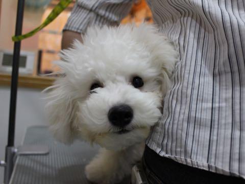ビションフリーゼ子犬フントヒュッテこいぬ家族募集里親関東_2252.jpg