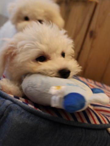 ビションフリーゼ子犬フントヒュッテこいぬ家族募集里親関東_2256.jpg
