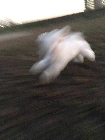 ビションフリーゼ子犬フントヒュッテこいぬ家族募集里親関東_2265.jpg